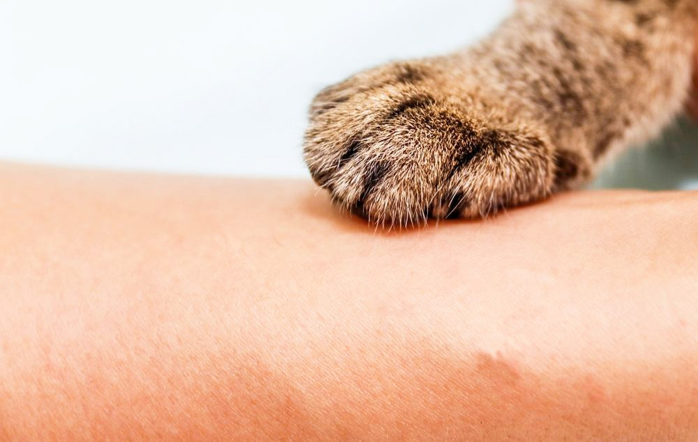 Британский кот,британский кот для дома,кошка британская - окрасы,британец уход и питание