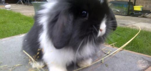 Какие они мини кролики?