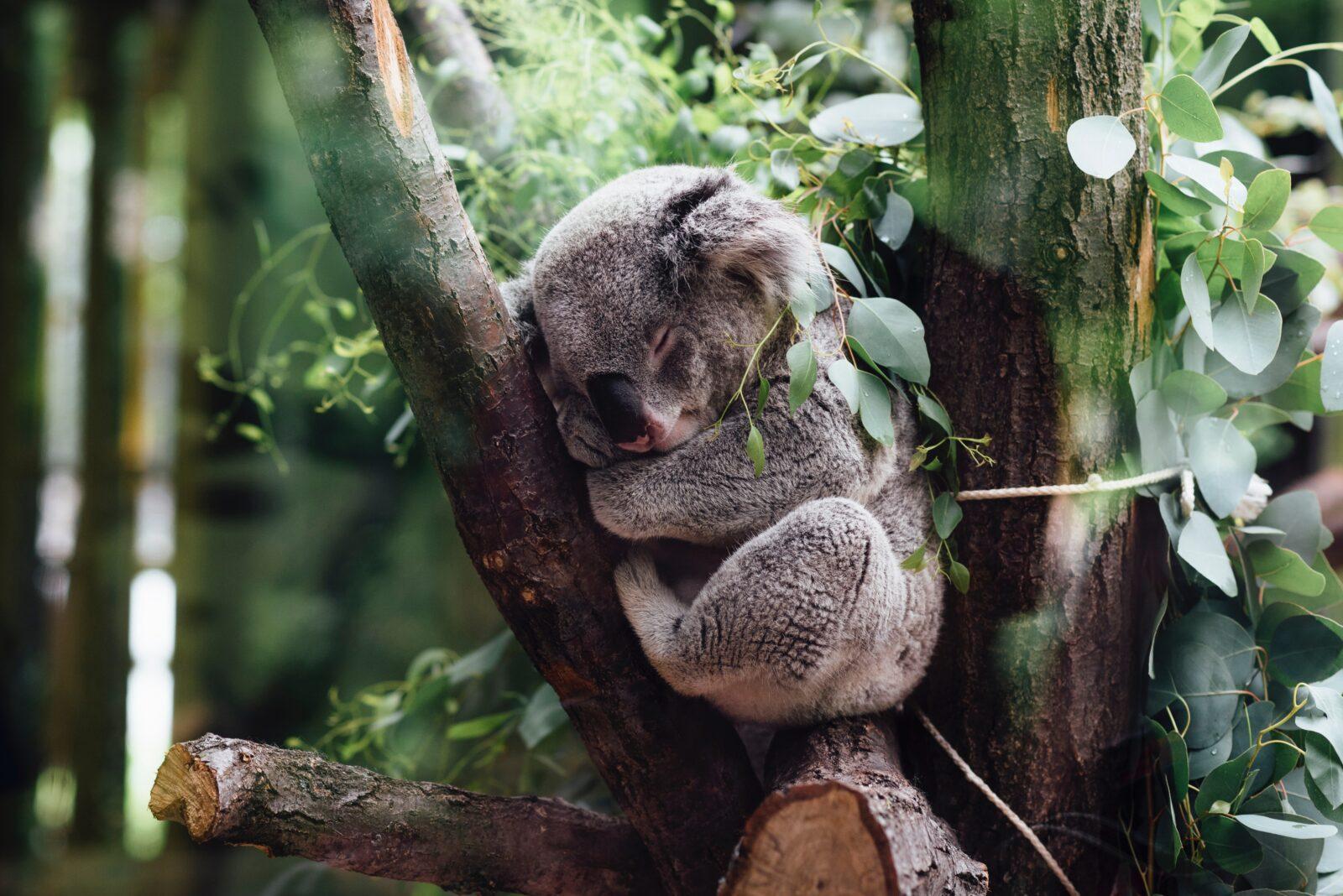 Почему коала обнимает деревья