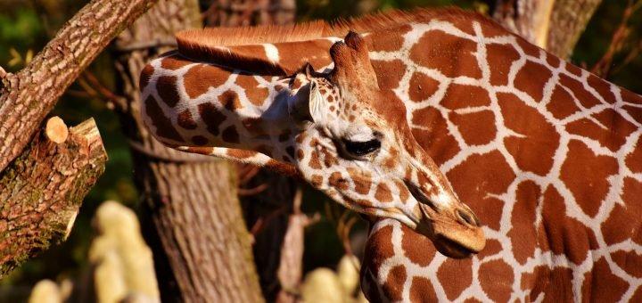изгиб шеи жирафа