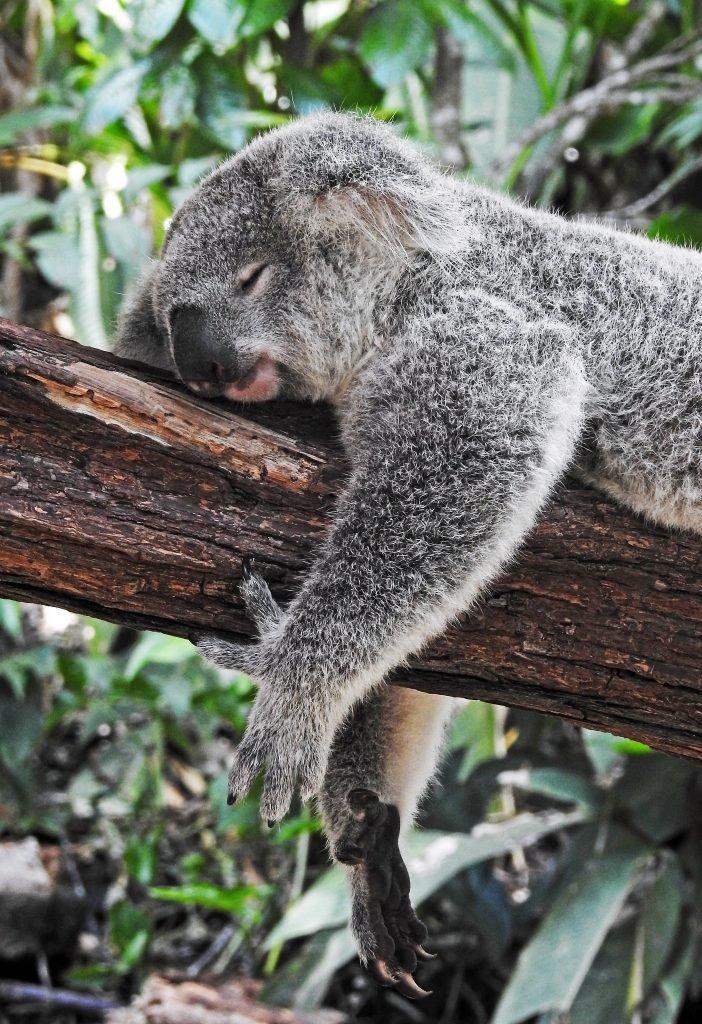 коала дремлет на дереве
