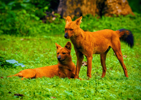 красные собаки