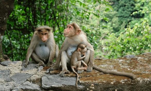 макаки Таиланда