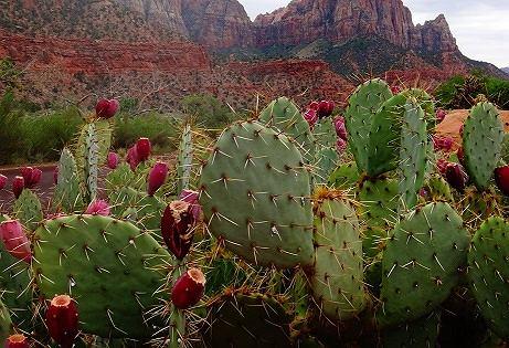 кактусовая диета,опунция для похудения,влияние кактуса на организм,порошок из кактуса,кактусовая вода,кактус для похудения