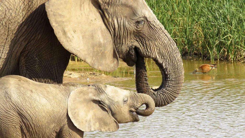 слониха с малышом