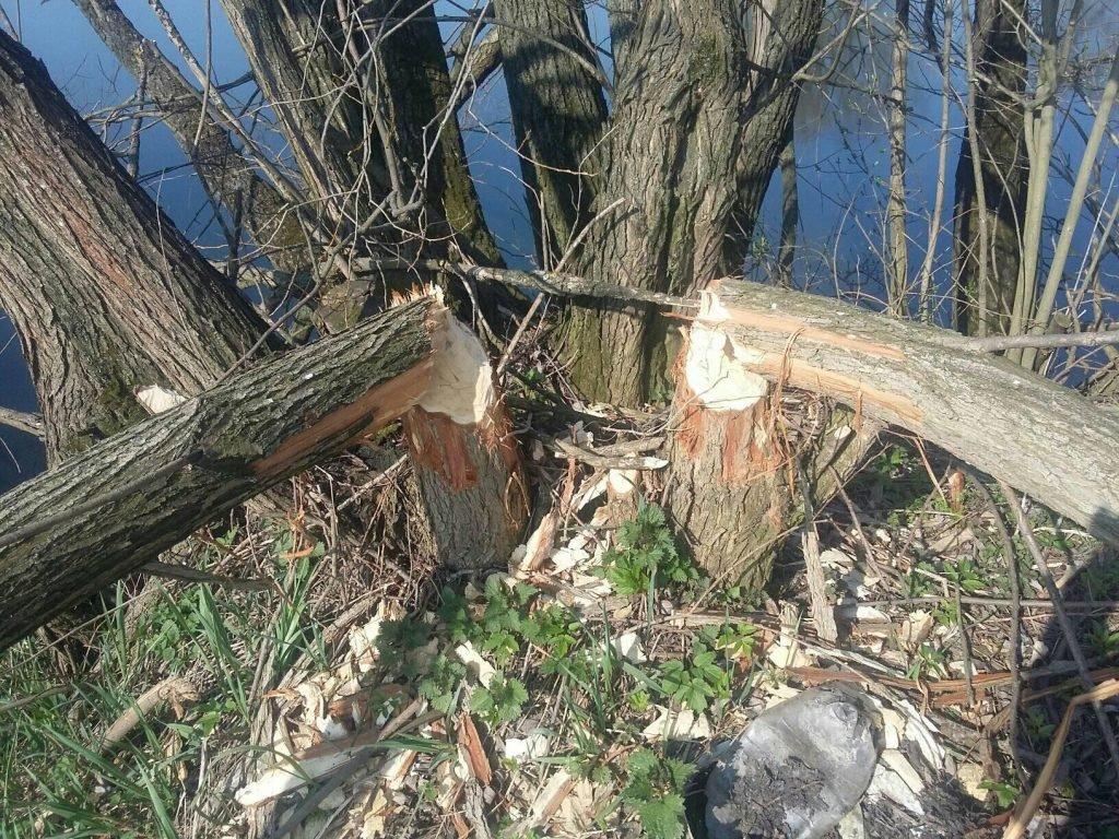 срез деревьев бобрами