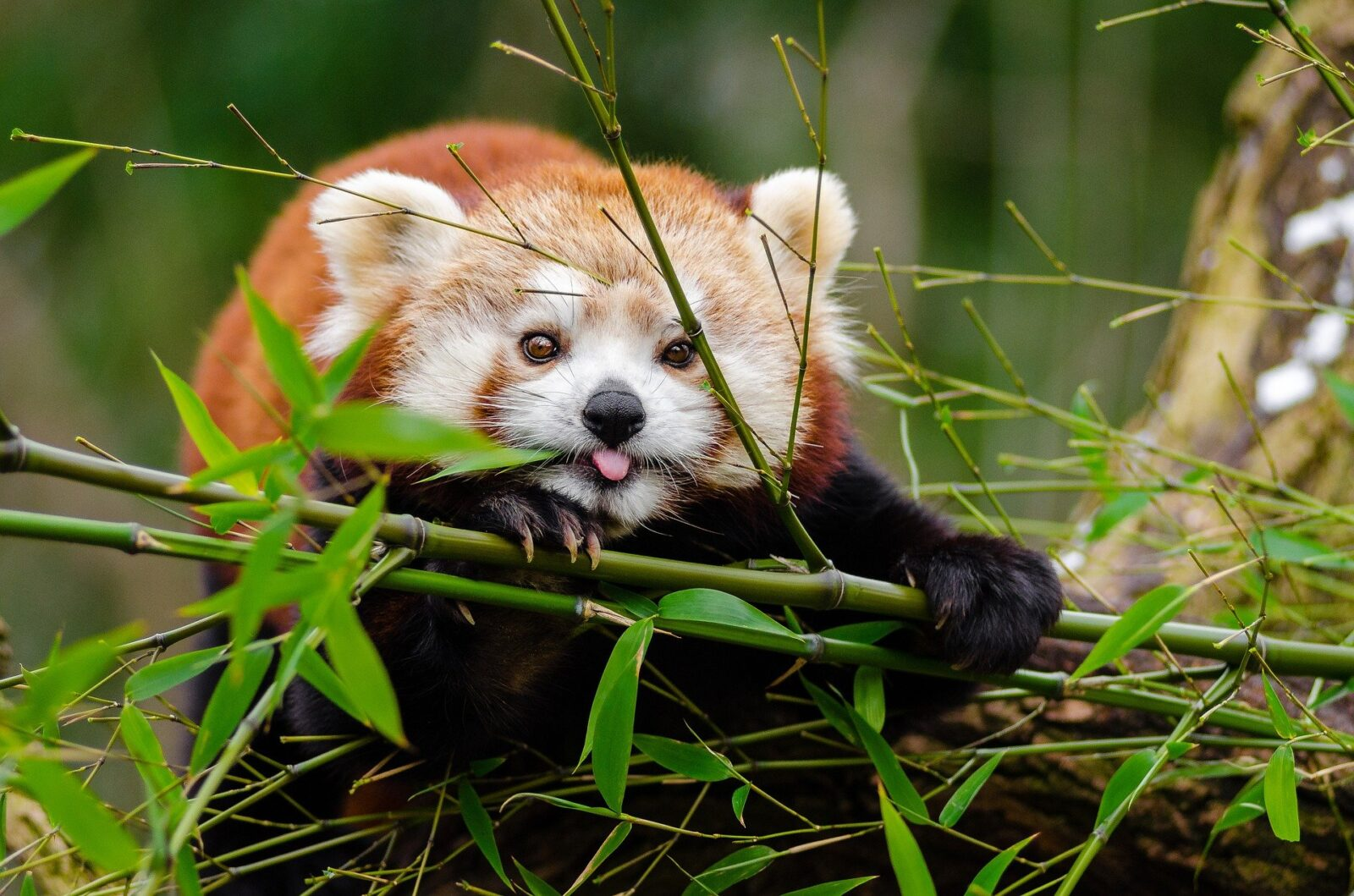 карликовая панда