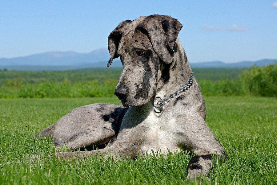 Nemetskij Dog