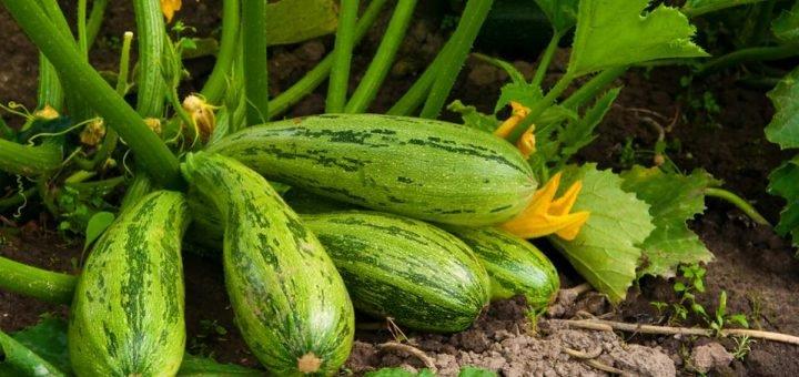 плодоносят кабачки