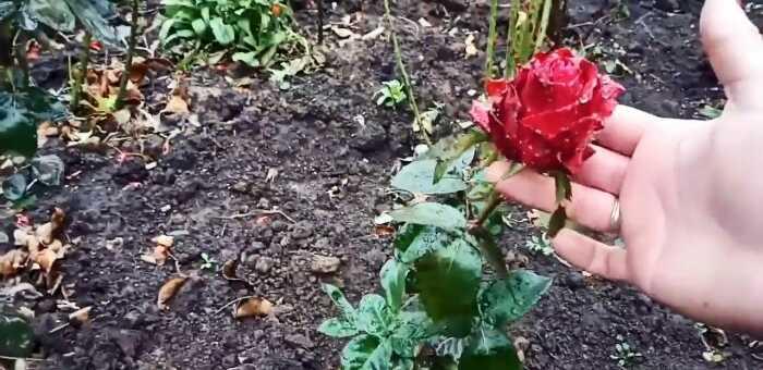 как черенковать розы
