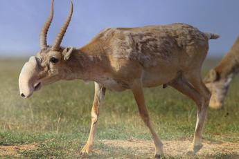 antilopa sajgak